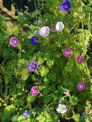 Purpur-Prunkwinde (Ipomoea purpurea); Bergenhusen, Stapelholm (1) (Chironius) Tags: stapelholm bergenhusen schleswigholstein deutschland germany allemagne alemania germania    ogie pomie szlezwigholsztyn niemcy pomienie blte blossom flower fleur flor fiore blten    asterids campanuliids solanales nachtschattenartige convolvulaceae windengewchse ipomoea prunkwinde blau rosa