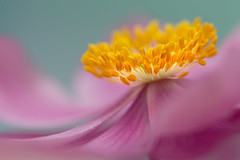 Queen of flowers (sophiaspurgin) Tags: anemone flower petals stamens anthers soft focus