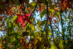 Red leaf in the morning sun (randyherring) Tags: ca california flora plants nature losgatos season outdoor autumn fall leaves morning unitedstates us