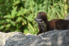 mink (YoungTwoo) Tags: american mink toronto ontario canada nature wildlife