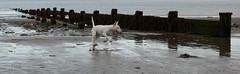(Greg Adams Photography) Tags: iom isleofman beach dog jumping playing sea water europe animal pet travel hhsc2000 2016