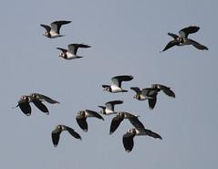 lapwing (scouser185) Tags: lapwing lancashire brockholes birds