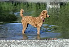 2702 (Jean Arf) Tags: ellison park dogpark rochester ny newyork september autumn fall 2016 poodle dog standardpoodle gladys water wet pond