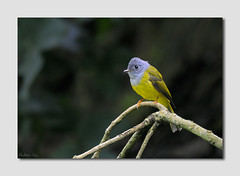 Grey Headed Canary Flycatcher (Madhav Jois) Tags: grey canary headed flycatcher