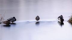 """""""Lago"""" della bilancia (albi_tai) Tags: reflection water river reflex ticino nikon fiume uccelli movimento acqua riflessi luce fila mosso d90 lungaesposizione 21100 sommalombardo lte fiumeazzurro panperduto nikond90 tempilunghi albitai"""