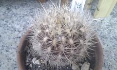 Neoporteria Nidus v. Gerocephala (_tricinn_) Tags: nidus neoporteria gerocephala flickrandroidapp:filter=none