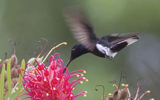 Black Jacobin (Florisuga fuscus)