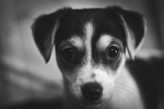 My Names Daisy (chilledvondub) Tags: morning blackandwhite dog chihuahua cute monochrome contrast canon puppy 50mm sussex bokeh canine depthoffield f18 horsham ef jackrussel snowday 500d vinyetting boggleyeyes chilledvondub