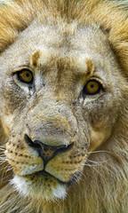Nostalgic male lion