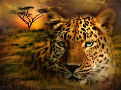 African leopard (maom_1 (Off, most of the time)) Tags: rememberthatmomentlevel4 rememberthatmomentlevel1 thelooklevel8 rememberthatmomentlevel2 rememberthatmomentlevel3 rememberthatmomentlevel7 rememberthatmomentlevel9 rememberthatmomentlevel5 rememberthatmomentlevel6 rememberthatmomentlevel8 rememberthatmomentlevel10 thelookorangelevel3 thelookredlevel1 thelookyellowlevel2 thelookpurplelevel4 thelookgreenlevel5 thelookwhitelevel7 thelookbluelevel6