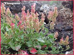 Rumex vesicarius Ene13 (lanzarote rural) Tags: planta flora lanzarote canarias polygonaceae rumex