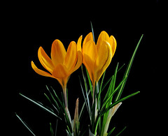 Crocus 'Yellow Mammoth' (Todd Boland) Tags: flowers crocus bulbs iridaceae