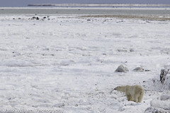 "Polar Bear waiting for the Hudson Bay to freeze • <a style=""font-size:0.8em;"" href=""http://www.flickr.com/photos/92120860@N06/8453682681/"" target=""_blank"">View on Flickr</a>"