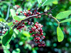 Berry3 (IHHudson) Tags: bokeh ilovebokeh bokehporn shortdepthoffocus