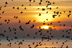 S'warm (Agent Lawrence) Tags: ocean winter sunset sea cold silhouette canon landscape sussex golden pier wings brighton flight 2012 starlings murmuration palacepier