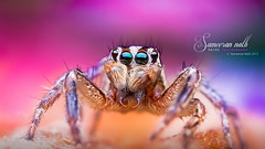 Fangs! (Sameeran_Nath) Tags: india macro nature canon photography 50mm spider jumping eyes colorful spiders fangs f11 median arthropods nath salticidae 600d sameeran 430exii