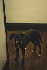 Celty (Chester someone) Tags: portrait dog pet house cute animal canon puppy 50mm mutt cincinnati 14 documentary pit pitbull domestic pitmix canon7d