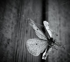there (LauraSorrells) Tags: winter favorite home insect death this poetry poem december suspension web moth silence collapse there change husk paradox 2010 thecove threshold wendellberry fadingbeauty subtraction webskein somberbeauty