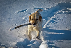Anything for a stick (chestnutcanoe) Tags: winter snow labs stick yellowlabs northwesternontario