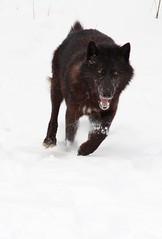 Running Series:: 1 (MLGreenly) Tags: winter snow minnesota america woodland woods wolf snowy cannon blackwolf 2013 60d