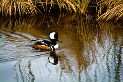 Hooded Merganser Amongst the Watergrass (Paul T. Marsh/PositivePaul) Tags: color bird animal olympia pacificnorthwest manualfocus hoodedmerganser nisquallywildliferefuge supertelephoto 2013 animalbehavior fujis3pro manualmetering lightroom3 wwwpaulmphotographycom paulmarshphotography nikon400mmf35ais