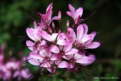 Cleome (Sweetlassie) Tags: flowers purple cleome