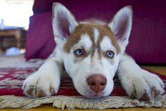 Koda Bear (AndersHolvickThomas) Tags: blue dog cute puppy eyes husky sony nex5