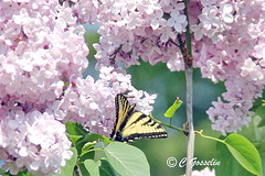 REFORD GARDENS  |   LILAC AND BUTTERFLY |  EASTERN TIGER SWALLOWTAIL    |   LES JARDINS DE METIS  |  METIS   |  GASPESIE  |  QUEBEC  |  CANADA (C C Gosselin) Tags: quebec canada québec canoneosrebelt2i canoneos7d canon7d canon 7d eos7d canoneos eos canoneosrebelt2 geo:country=canada ph:camera=canon reford gardens | lilac and butterfly eastern tiger swallowtail les jardins de metis gaspesie canon7dmarkii 7dmarkii markii mark ii dorval flickr