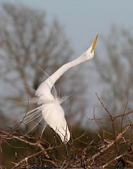 Displaying Great Egret (Let there be light (A.J. McCullough)) Tags: birds texas egret rookery audubon highisland texasbirds featheryfriday houstonaudubon uppertexascoast smithoaks globalbirdtrekkers slbdisplaying
