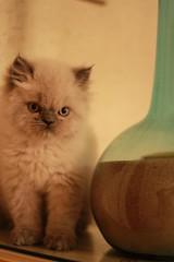 Cat9661 (34) (Cat9661) Tags: animals cat حيوانات مون قطط هاف بسة فيس شيرازي بيكي بساس هملايا