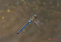 """Blue emperor"" - Anax imperator ( BlezSP) Tags: islands dragonflies dragonfly canarias libelula gran canary canaria damselflies odonata aeshnidae anaximperator libelulas inflightshot"