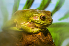 Cool green frog (Tambako the Jaguar) Tags: wood green zoo switzerland big log nikon frog lying neuchtel animalpark d4 lachauxdefonds boisdupetitchteau
