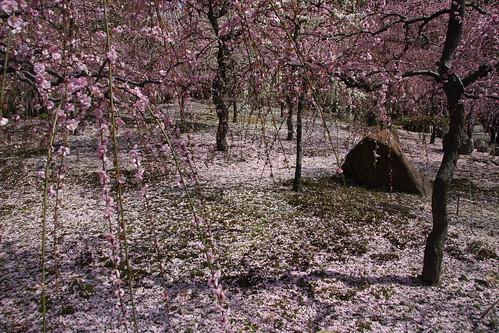 しだれ梅の庭