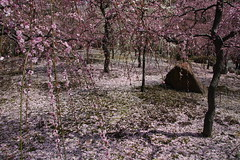 (eyawlk60) Tags: flowers trees favorite japan canon garden eos spring kyoto shrine  nippon