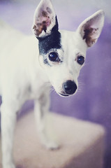 dog pet white black standing jrt ears canine terrier jackrussell prick daytona whiteblack babyday lookingatcamera javcon117 frostphotos