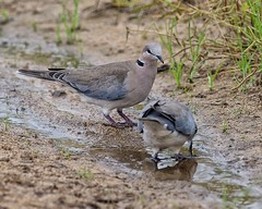 Drinking Doves (Rivertay07 - thanks for over 5 million views) Tags: southafrica rivertay dove sabi kruger limpopo copyrightprotected richardstead chitwachitwagamereserve