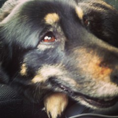 Here is Onyxia, the dog we have to get rid of temporarily for being 10 pounds over the allowed weight. / on Instagram http://instagr.am/p/W90qxKsmpu/ (JonZenor) Tags: photos tumblr instagram