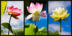 Water Lilies (Andrew Arch) Tags: triptych waterlilies