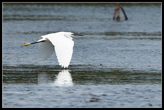 Egret in Flight (Gerald Yuvallos) Tags: nature birds canon is philippines birding 300mm 7d cebu egret f28l cebusugbo istoryanet fafagraphy