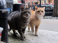 Horace & Mongo (Jimmy Legs) Tags: street orange cats brown buddies tabby tnr bushwick horace feral mongo eartip