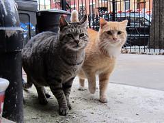 Horace & Mongo (Jimmy Legs) Tags: street orange cats brown buddies tabby tnr bushwick horace feral mongo eartip