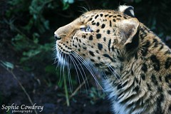 Sophie Cowdrey Photography No3 (Richard Cowdrey) Tags: beautiful cat fur zoo poser leopard bigcat edinburghzoo pantherapardus sophiecowdrey