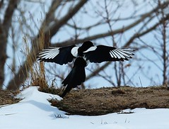 Magpie in Flight_03 (Circled Thrice) Tags: bird birds flying colorado flight coloradosprings co magpie magpies pikespeak rampart rampartpark