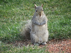 Nutsy the Squirel (Tomsde) Tags: squirel citter