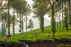 Tea picking, Wayanad (Rajesh Vijayarajan Photography) Tags: nature scenery kerala scene wayanad keralam teaestates nh212 teapicking teapickers nikond80 rajeshvijayarajan rajeshvijayarajanphotography rajeshvj