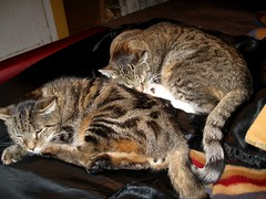 Paul and Beck, sleeping next to me (Hairlover) Tags: old pet cats pets cat kitten tabby kitty kittens kitties kittys straycats oldcat multiplecats threeleggedcat catvideo 24yearoldcat catcatskittykitties