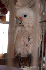 IMG_5344 (ReverieRevel) Tags: pet bird parrot boo cockatoo wetbird wetpet goffinscockatoo wetparrot wetcockatoo