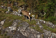 (5/16 an020) (Ted and Jen) Tags: knoydart deer tgoc scotland greatoutdoorchallenge
