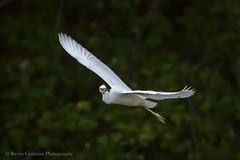 Juvenile Little Blue Heron (Kevin James54) Tags: canon80d lakegalena peacevalleypark tamron150600mm avian bird buckscounty egrettacaerulea heron juvenile kevingianniniphotocom littleblueheron
