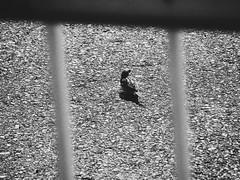Sparrow at the Port (Jon-F, themachine) Tags: jonfu 2016 olympus omd em5markii em5ii  mirrorless mirrorlesscamera microfourthirds micro43 m43 mft ft     snapseed japan  nihon nippon   japn  japo xapn asia  asian fareastorient oriental aichi   chubu chuubu   nagoya  blackandwhite bw bnw monochrome monochromatic grayscale greyscale nocolor birds bird  birdie birdy animal animals   fauna